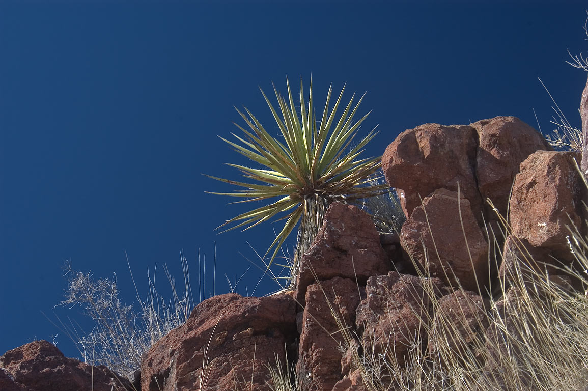 Yucca on a hill west from entrance in Davis Mountains State Park. Fort Davis, Texas