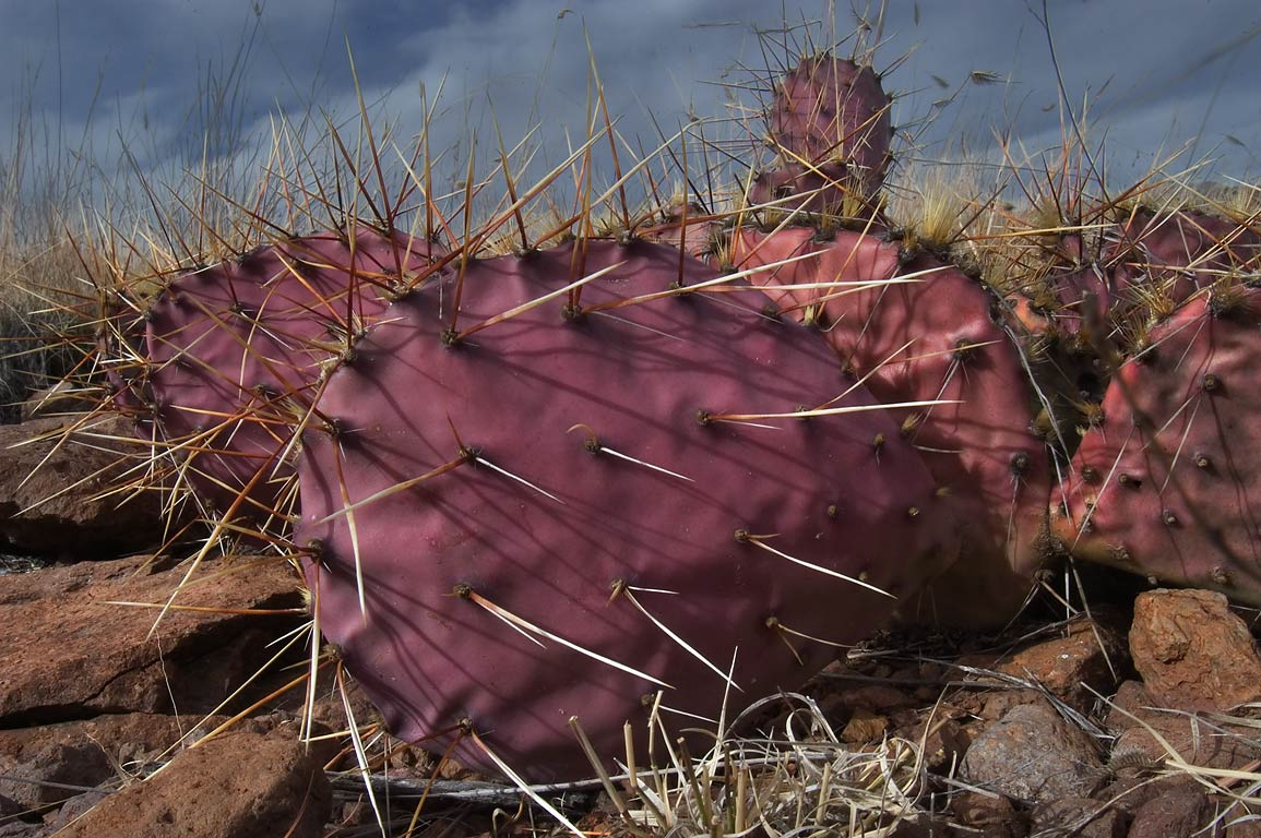 Magenta tinged prickly pears cactus on northern...State Park. Fort Davis, Texas