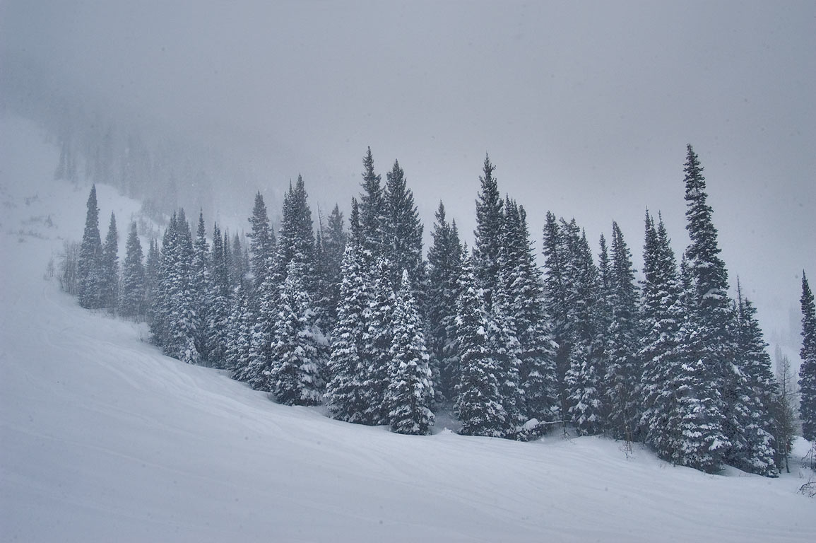 Group of fir trees in snow near Aerial Tram in Snowbird Ski Area. Utah