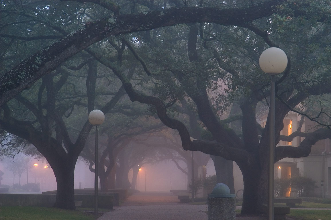 Oaks of Military walk at morning on campus of...M University. College Station, Texas