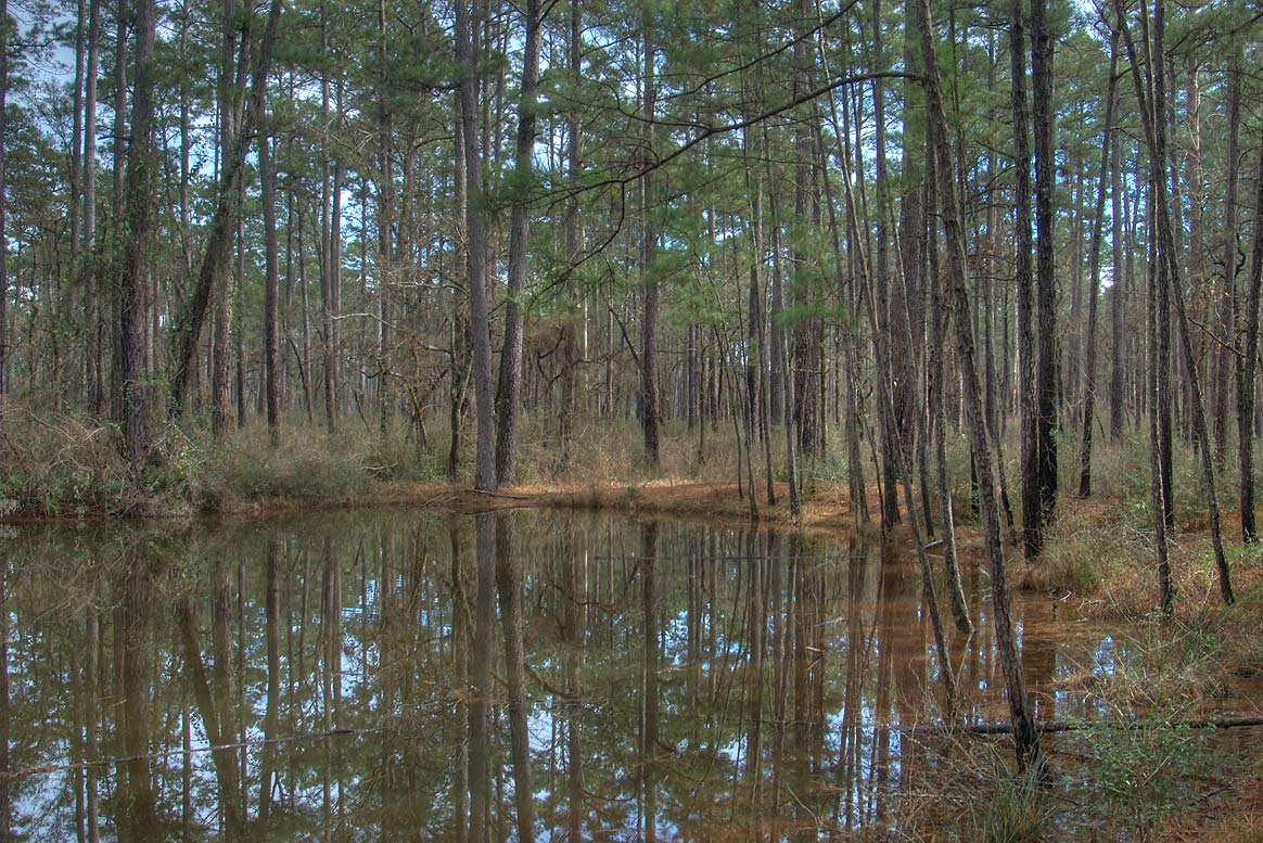 Small lake in pine forest in Sam Houston National...Lake Creek Loop Trail. Richards, Texas
