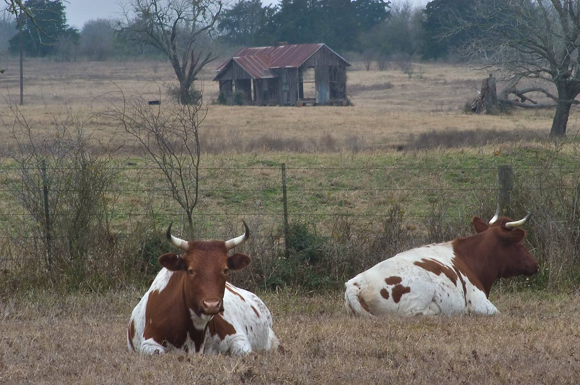 Resting Pineywoods cattle in Washington-on-the...Barrington Lane. Washington, Texas