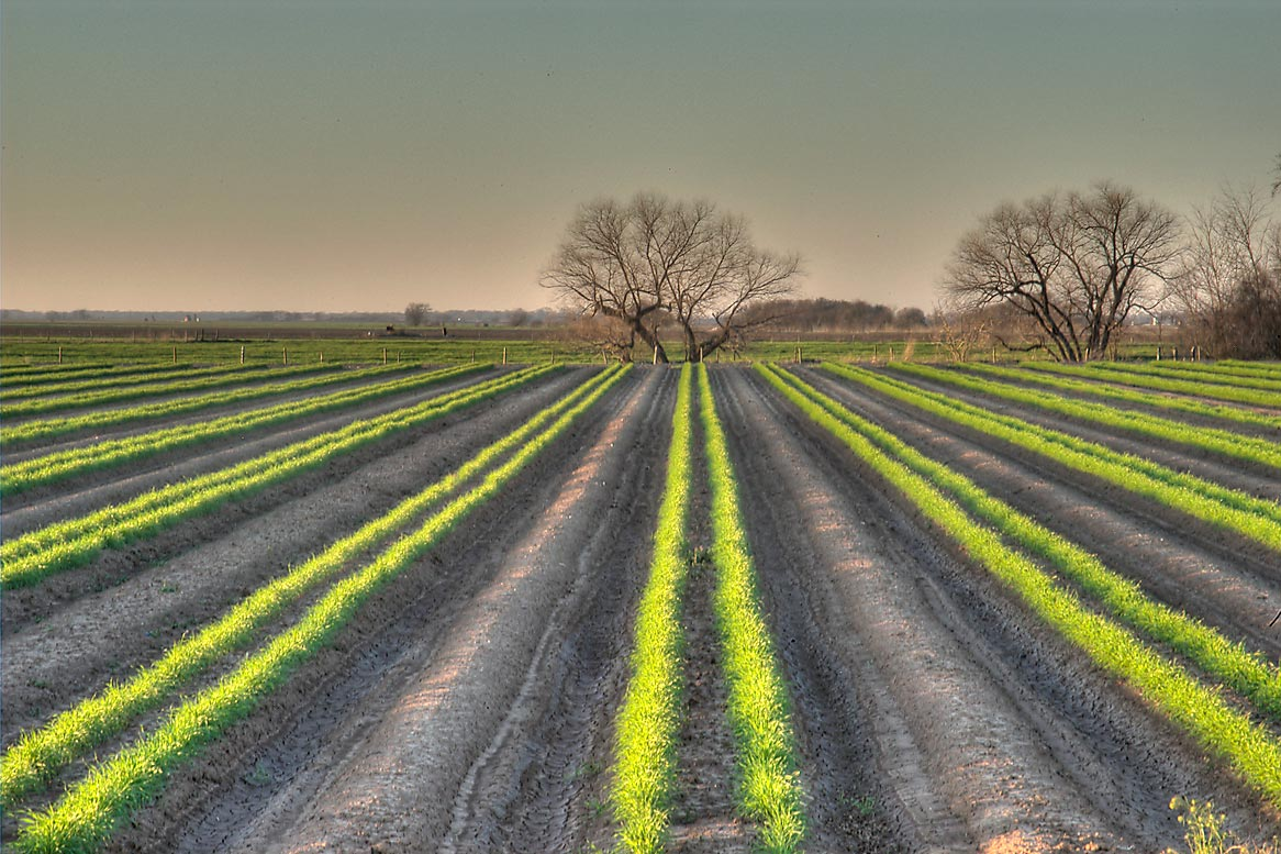 Crop field on north-west side of Rd. 60, north...with Rd. 50. College Station, Texas