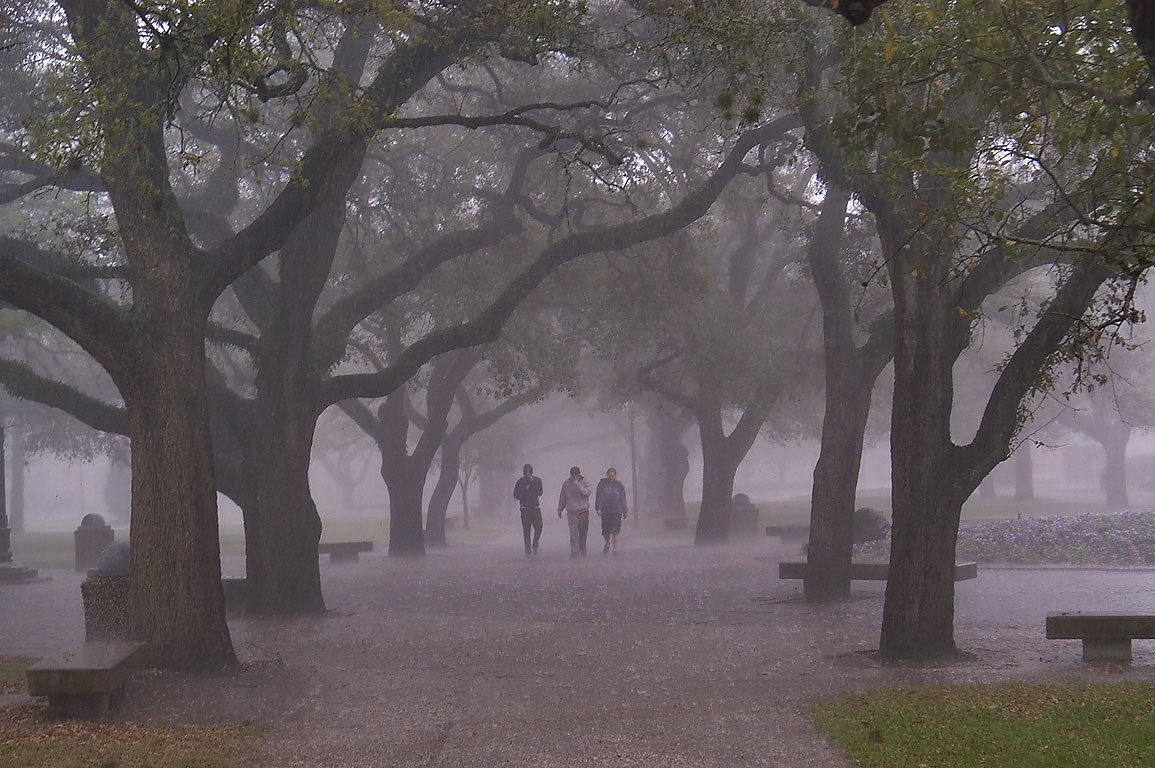 Oak alley of Military Walk on campus of Texas A...at rain. College Station, Texas
