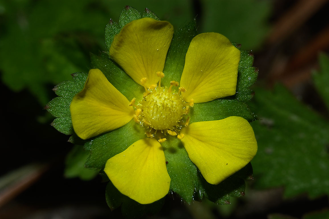 Flower of Indian mock strawberry (Potentilla...park on Pitcher Plant Trail. Texas