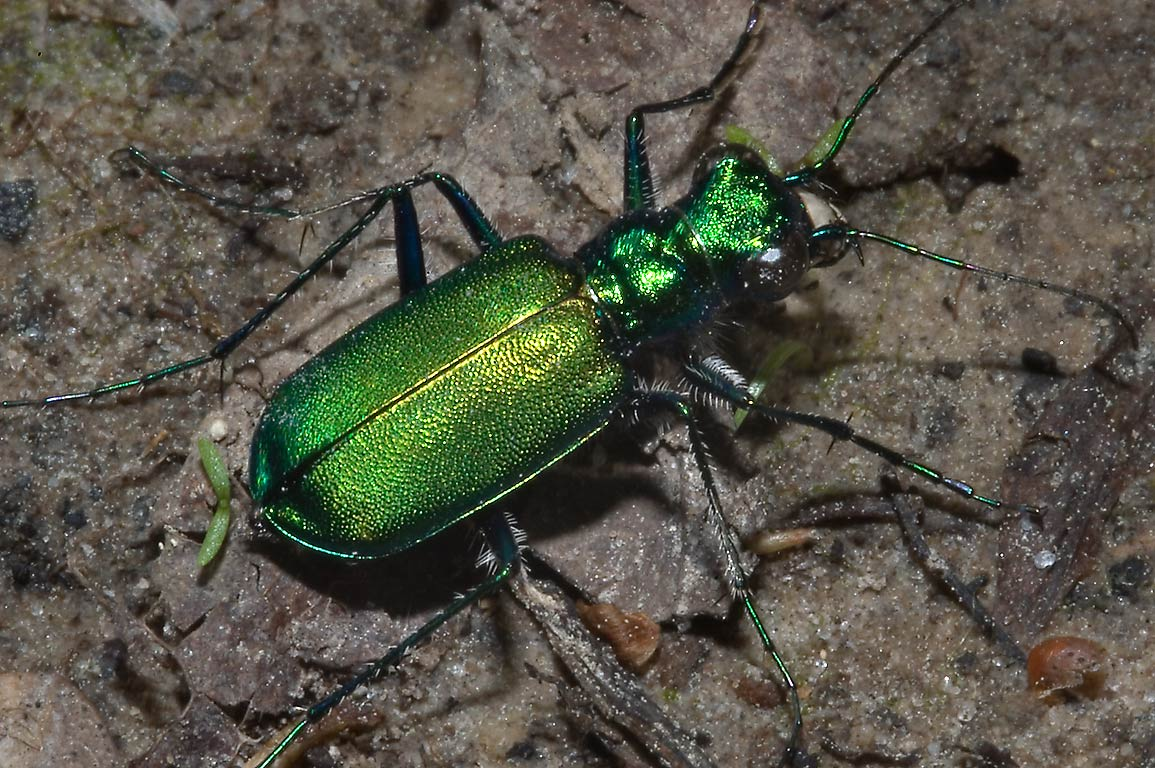 Green tiger beetle (Cicindela) in Big Thicket park on Pitcher Plant Trail. Texas