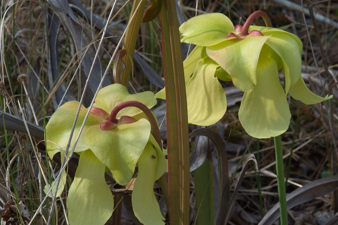 Nodding pale yellow flowers of pitcher plant...park on Pitcher Plant Trail. Texas