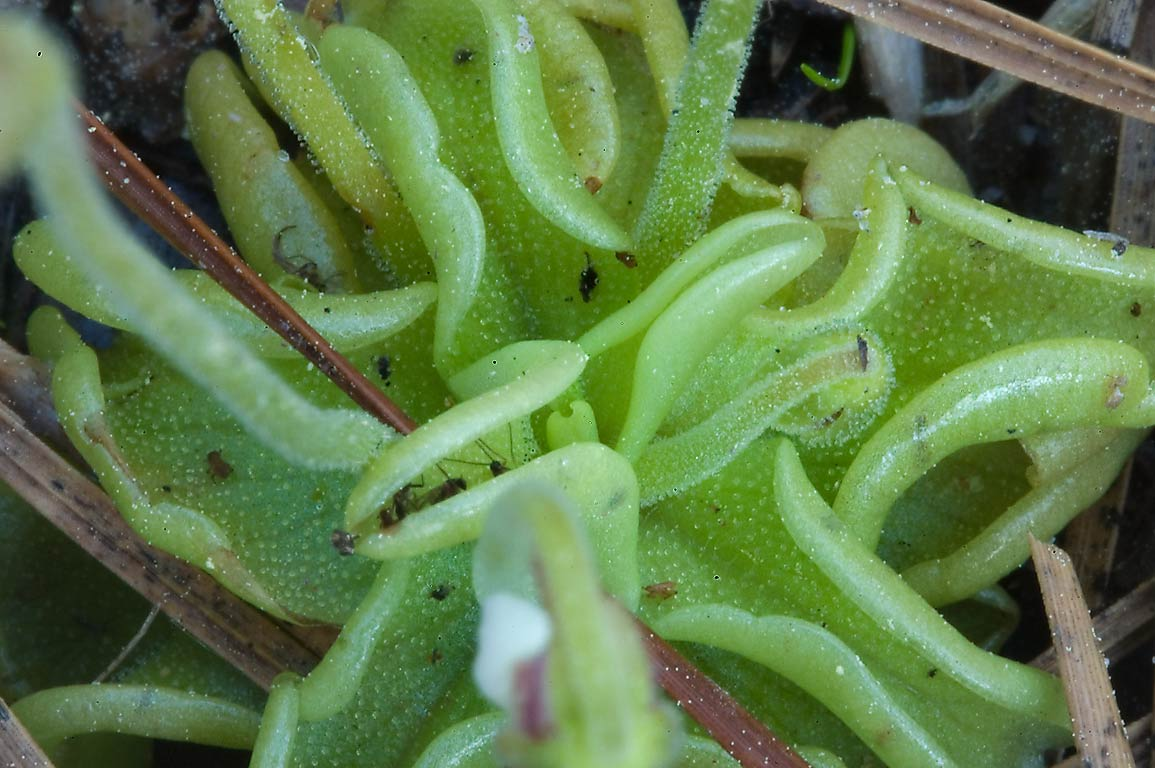 Basal cluster of fleshy leaves of butterwort...hairs that trap tiny insects. Texas