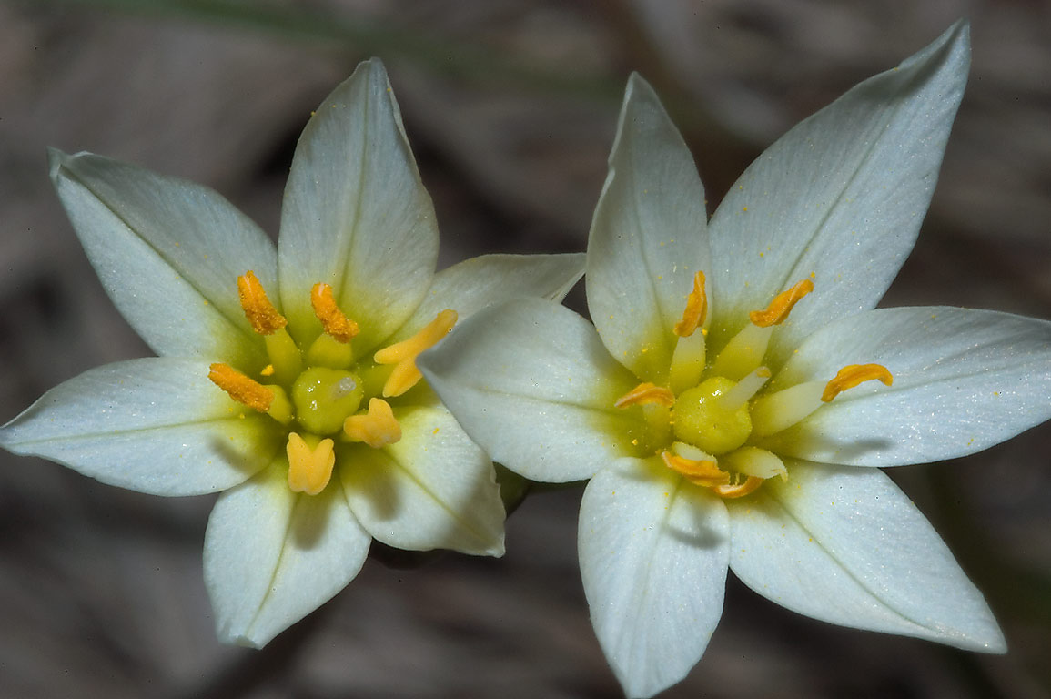 Flowers of false garlic in Lick Creek Park. College Station, Texas