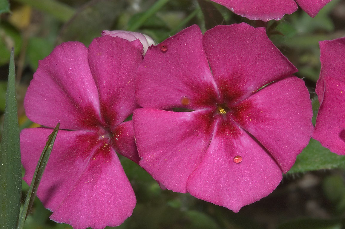 Pink phlox in Washington-on-the-Brazos State Historic Site. Washington, Texas