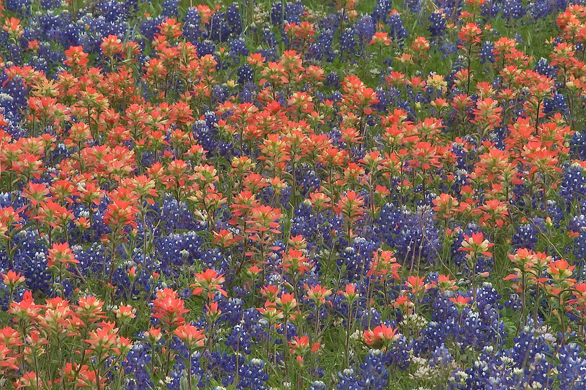 Field of bluebonnets and paintbrush in Old Baylor Park. Independence, Texas