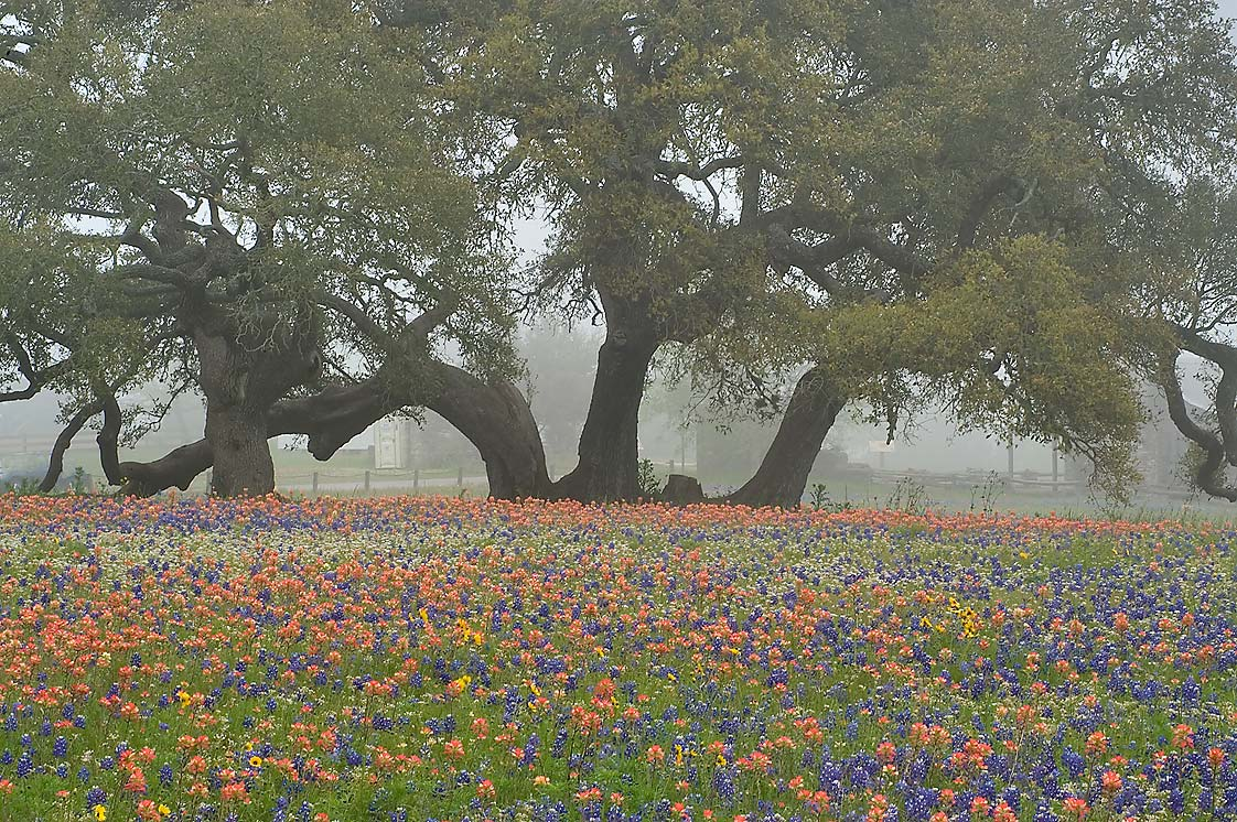 Flowers and oaks in fog in Old Baylor Park. Independence, Texas