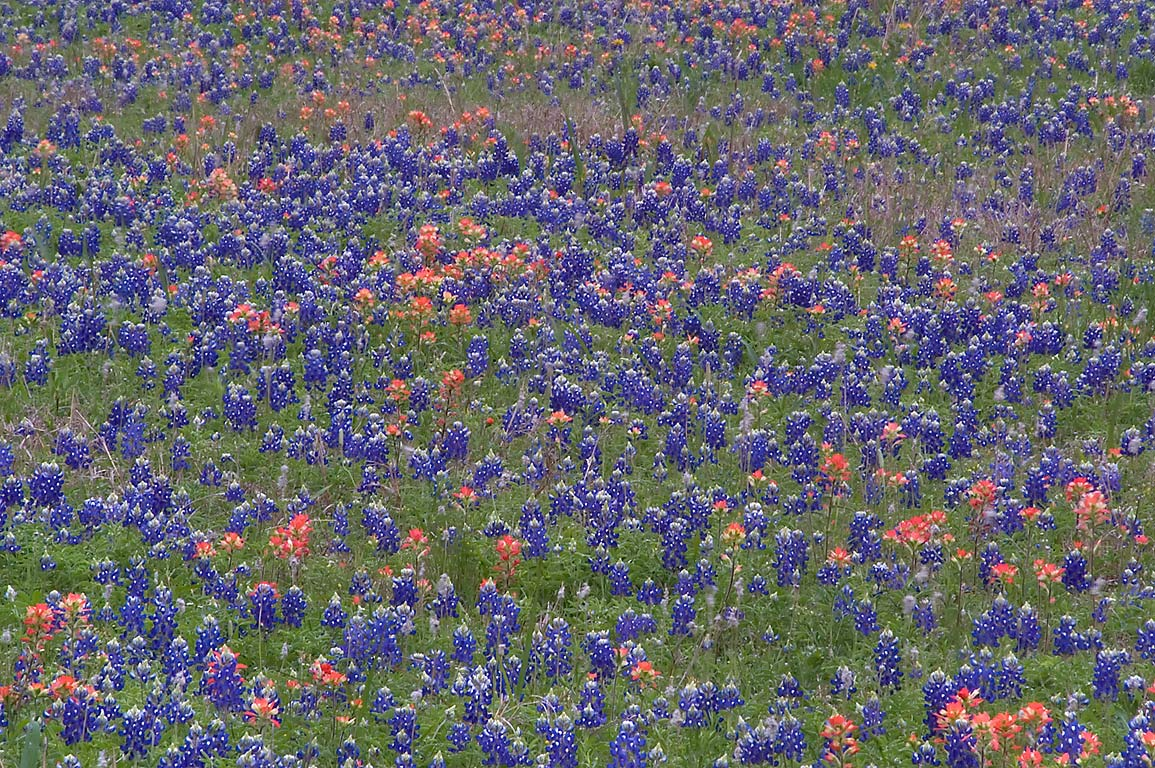 Field of bluebonnet and paintbrush flowers in...near Loop trail. Washington, Texas