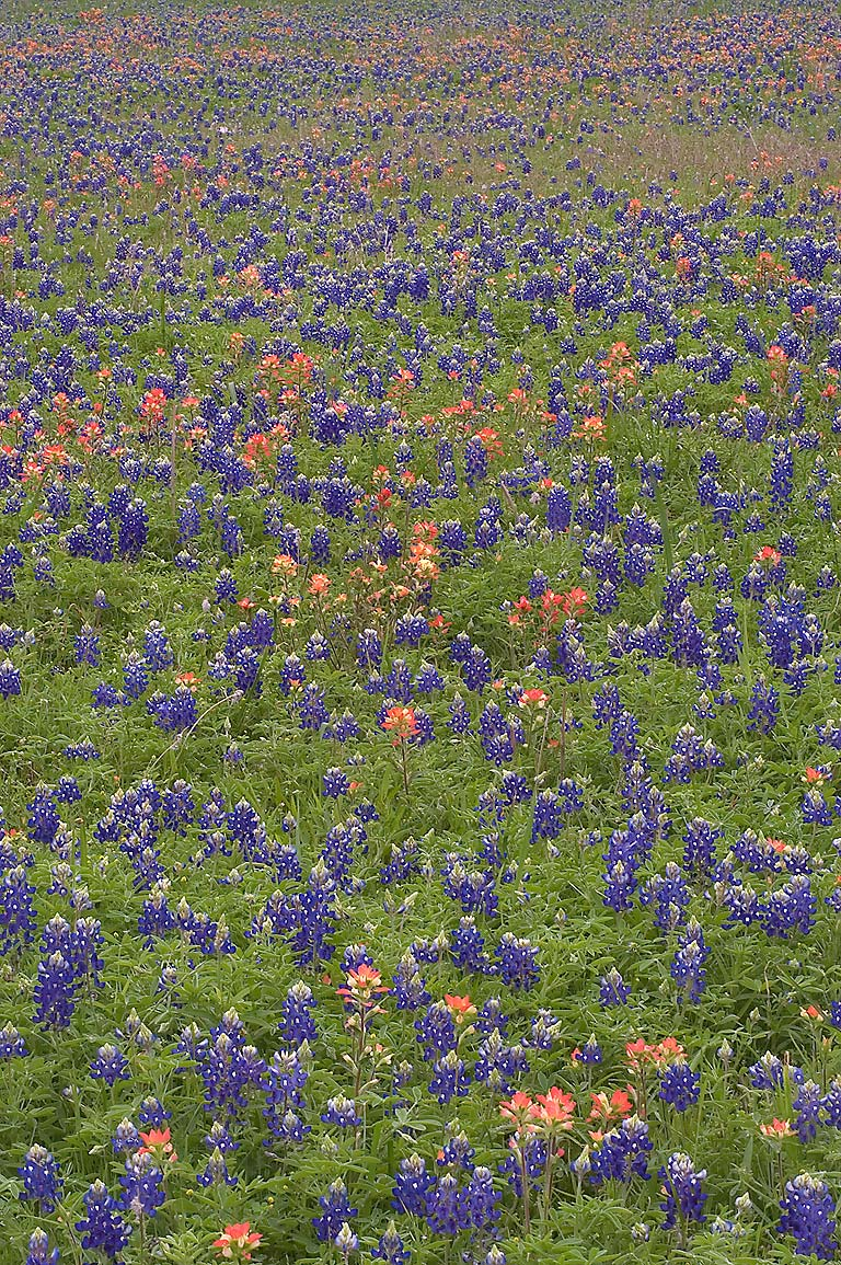 Field of lupin and paintbrush flowers in...near Loop trail. Washington, Texas