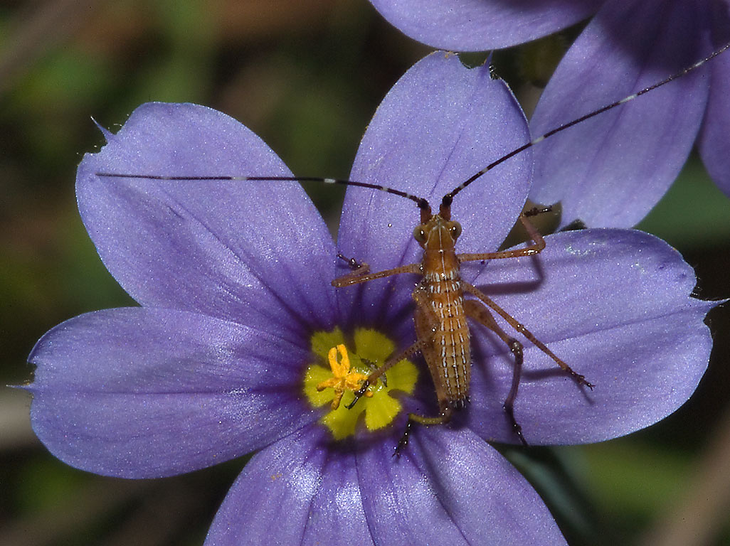 Flower of blue-eyed grass with immature katydid...Post Oak Trail. College Station, Texas