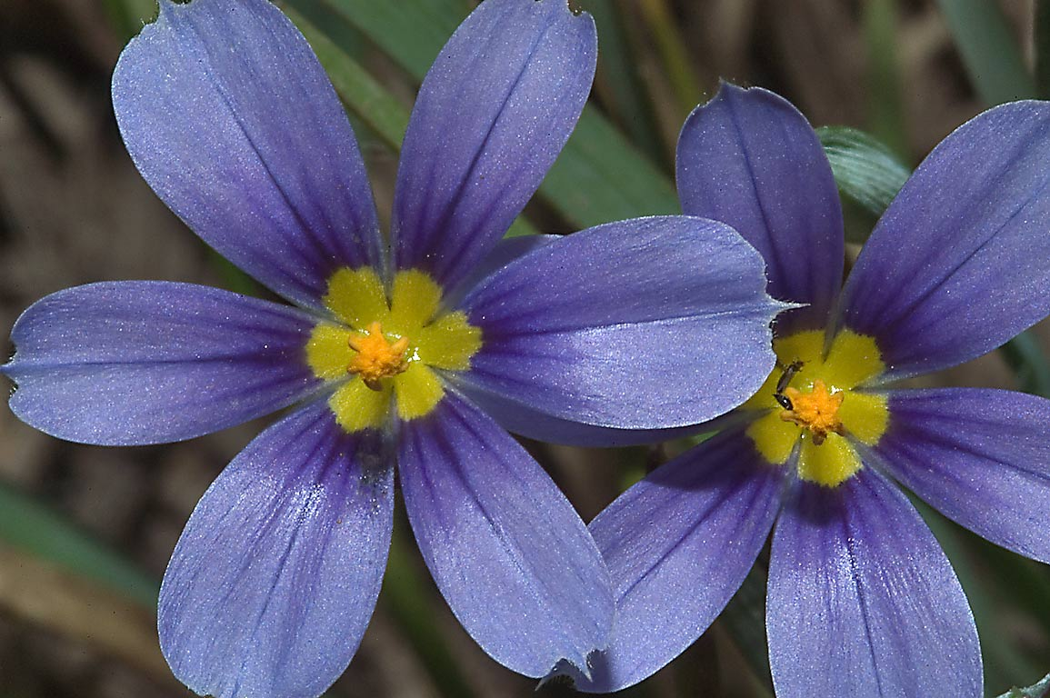 6-petaled star flowers of Blue eyed grass...Post Oak Trail. College Station, Texas