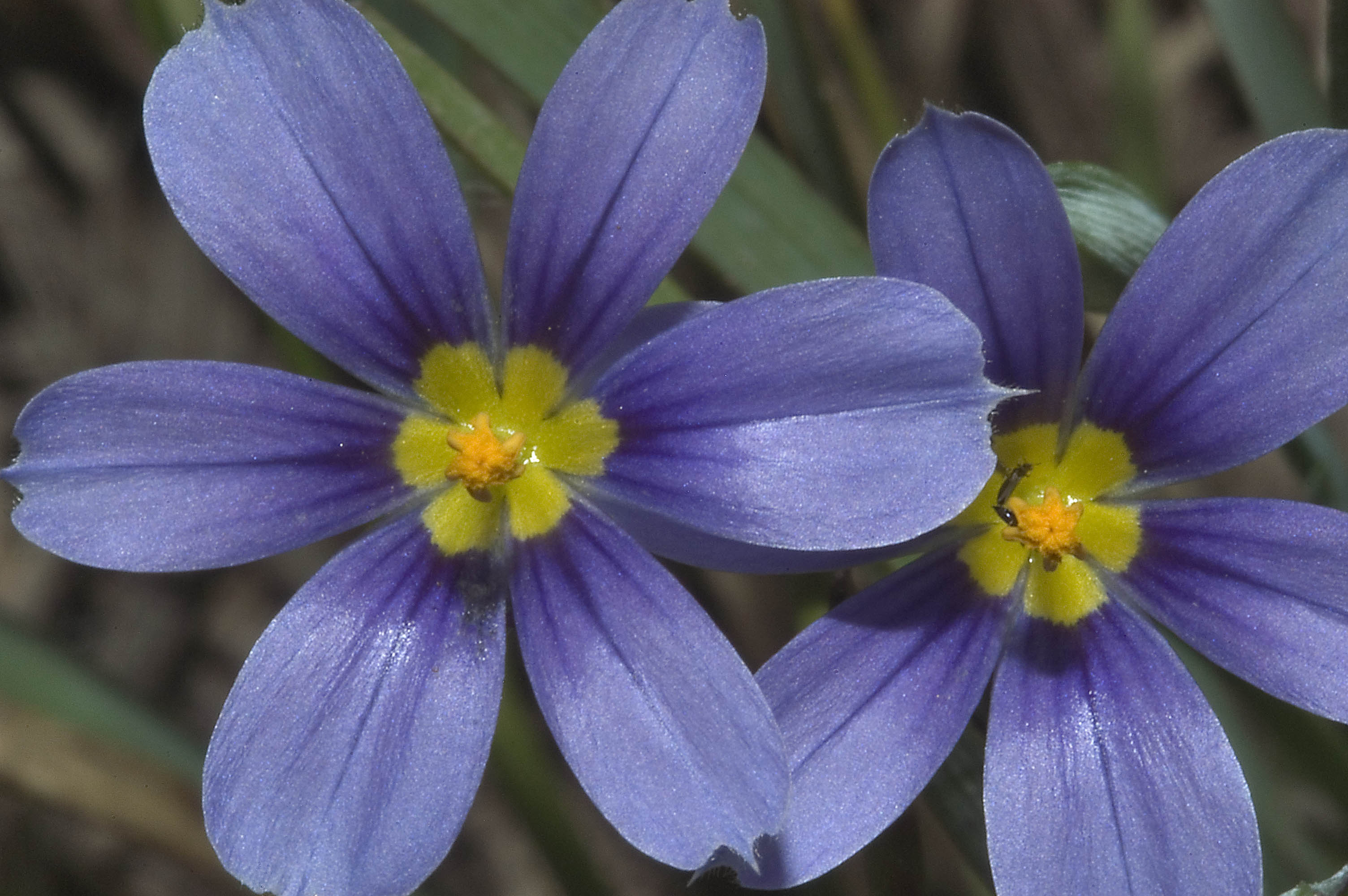 Photo 625-24: 6-petaled star flowers of Blue eyed grass ...