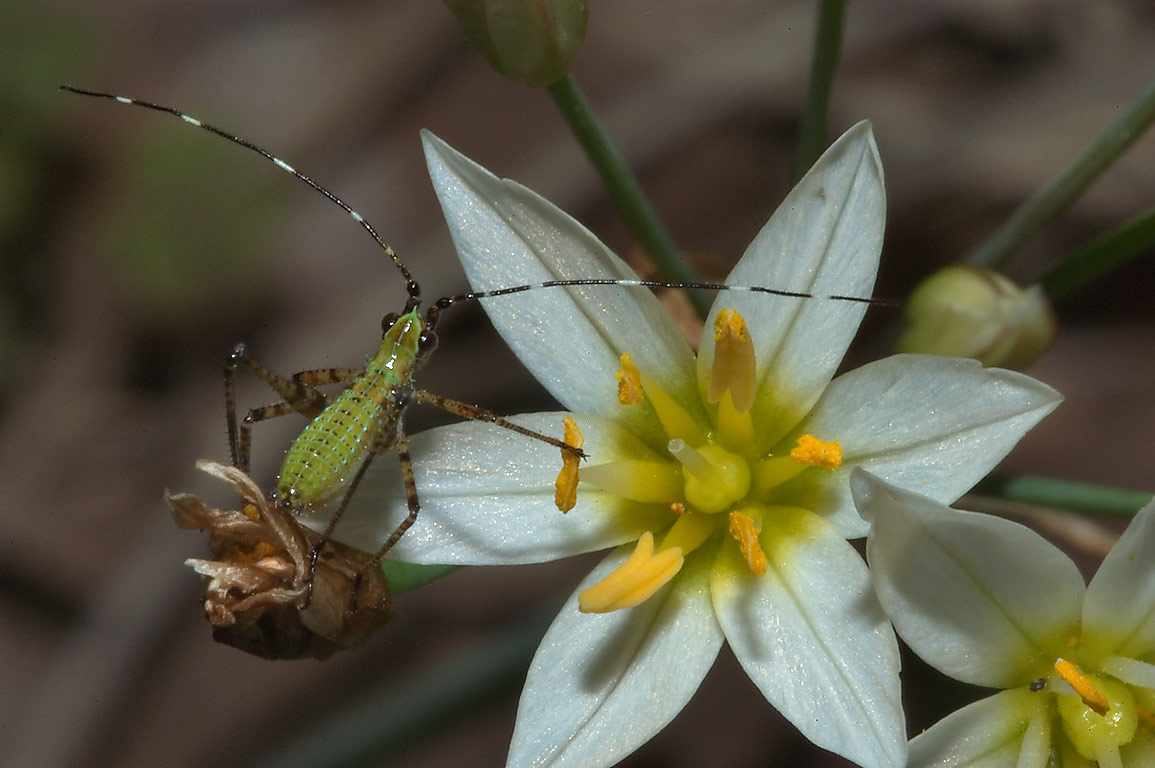 Flower of false garlic with a nymph of katydid in...Post Oak Trail. College Station, Texas