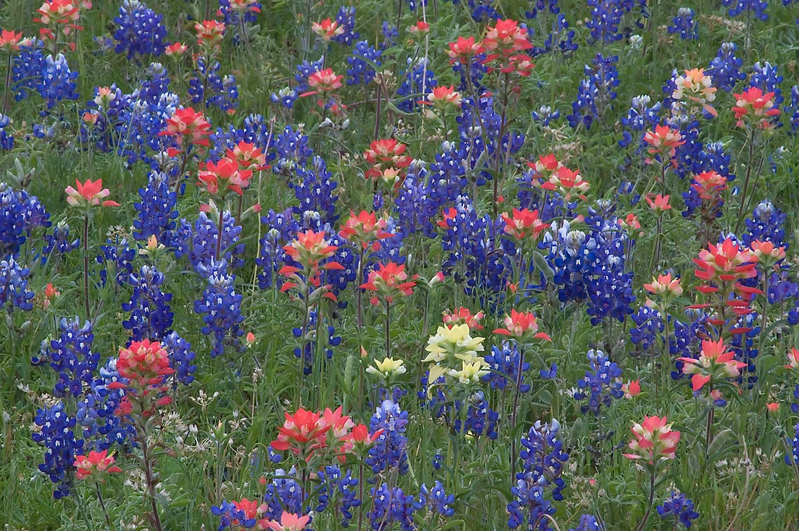 Bluebonnet and paintbrush flowers in Old Baylor Park. Independence, Texas