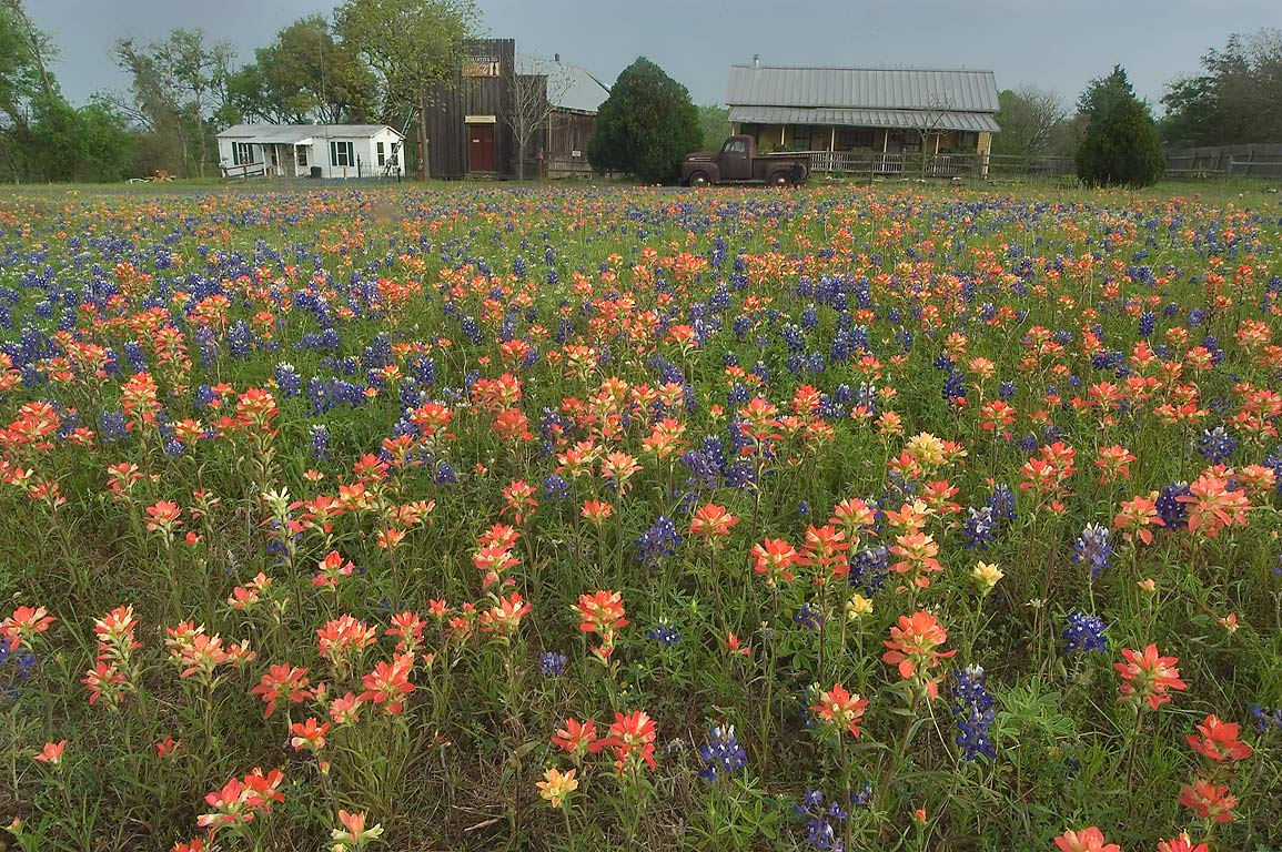 Field of flowers in Old Baylor Park. Independence, Texas