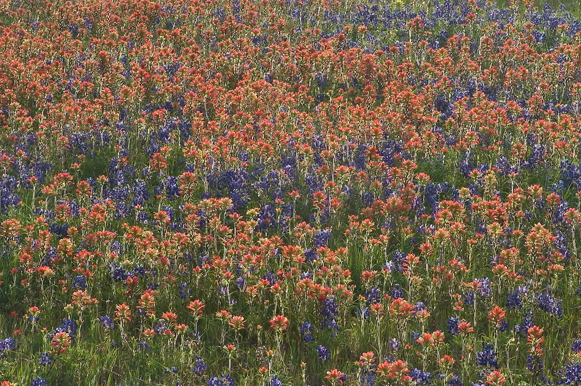 Paintbrush and bluebonnet flowers in Old Baylor Park. Independence, Texas