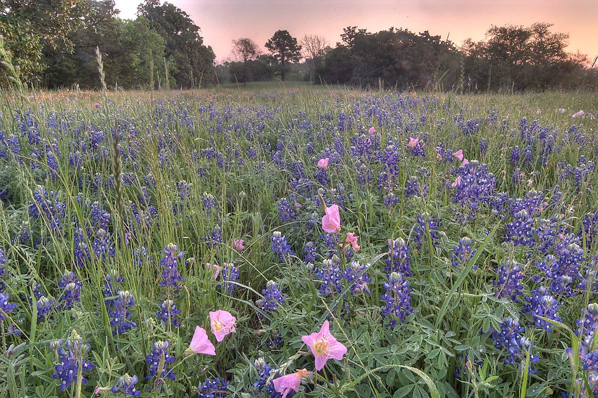 Meadow with bluebonnet in Washington-on-the-Brazos State Historic Site. Washington, Texas