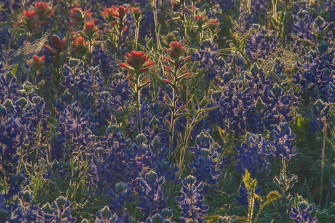 Bluebonnet and paintbrush flowers in Washington...near Loop Trail. Washington, Texas
