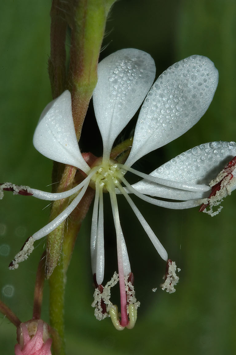 White gaura flower in dew in Washington-on-the...State Historic Site. Washington, Texas