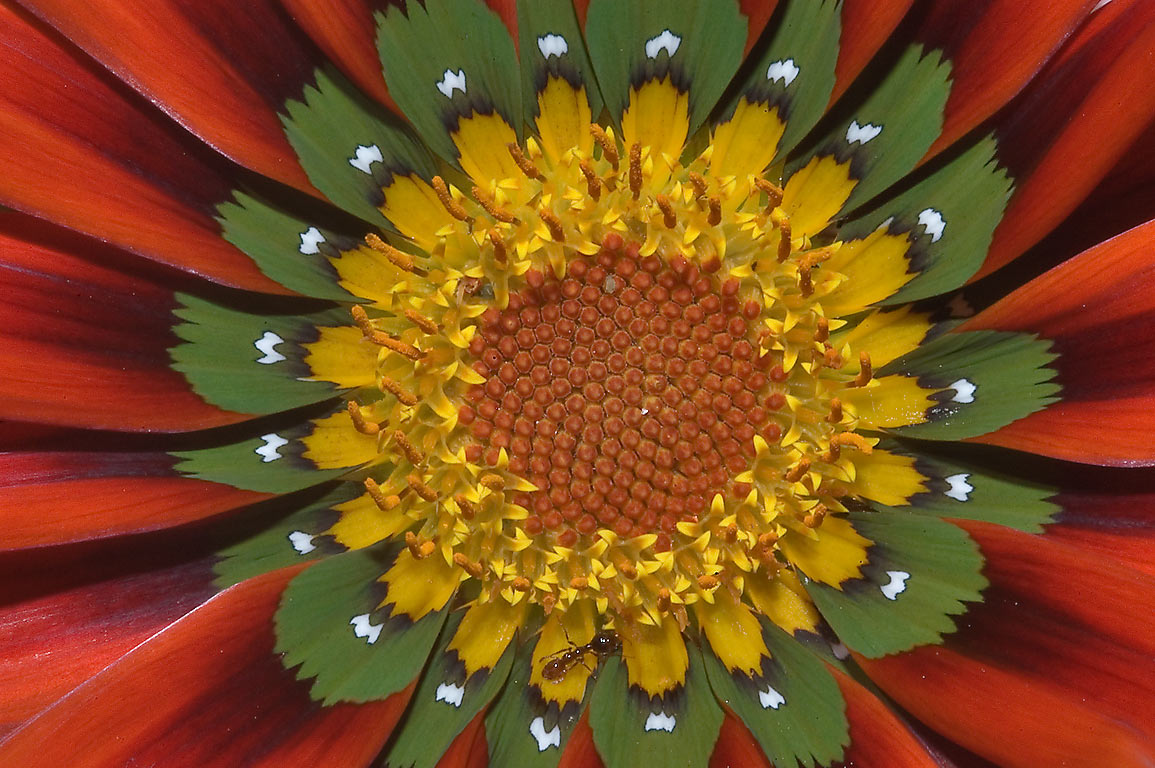 Red and green gazania flower in TAMU Holistic...M University. College Station, Texas