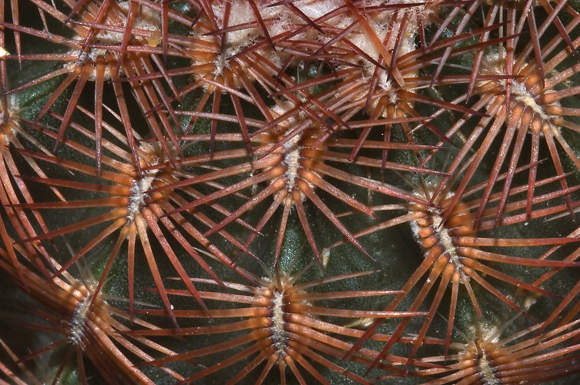 Lace cactus (Echinocereus reichenbachii) in TAMU...M University. College Station, Texas