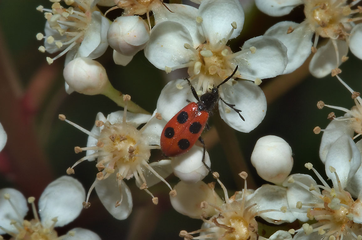 4-spotted checkered beetle (Pelonides...M University. College Station, Texas