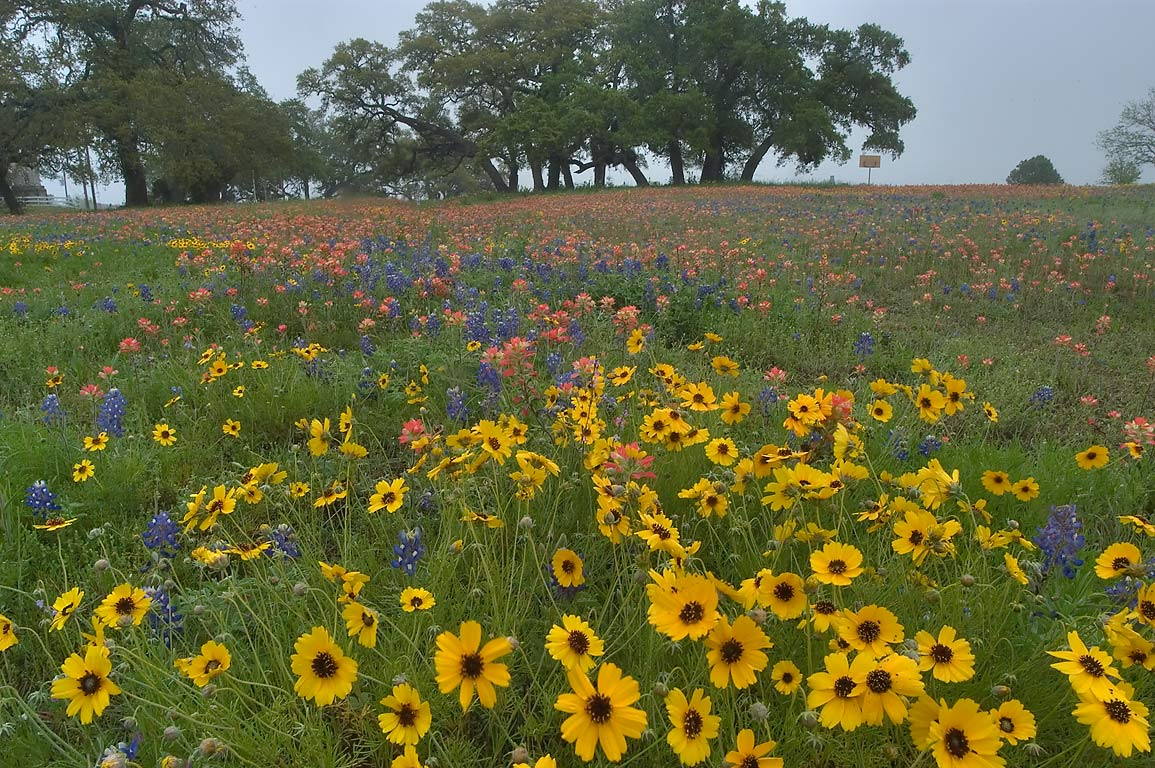 Coreopsis flowers in Old Baylor Park. Independence, Texas