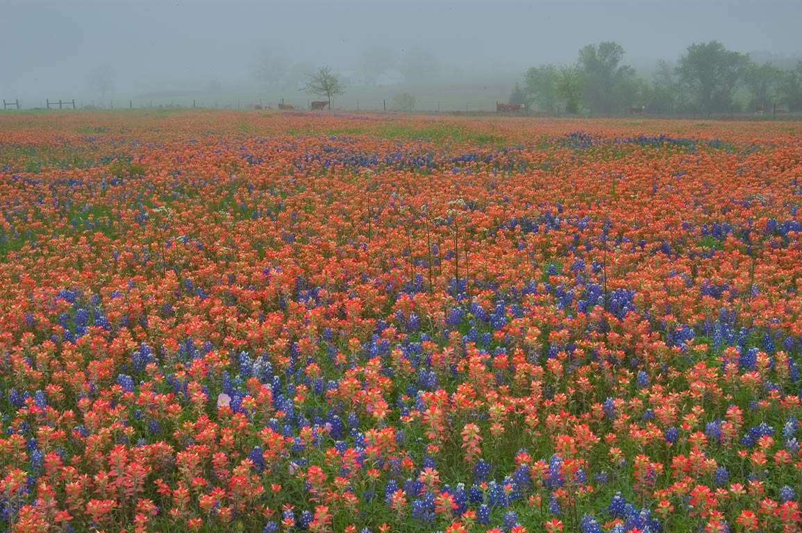 Photo 628 20 Field Of Indian Paintbrush And Bluebonnet