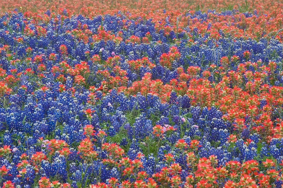 Indian paintbrush and bluebonnet flowers near Old...Rd.. North from Brenham, Texas