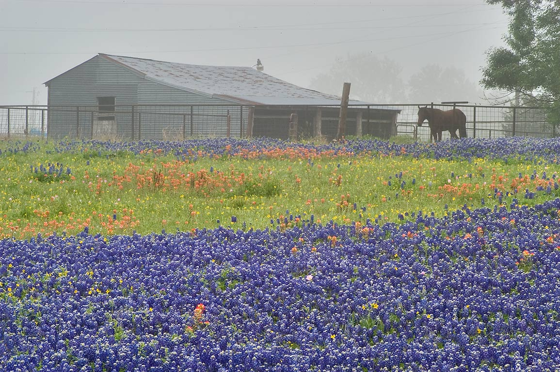 Shed and a horse with bluebonnet flowers, view...Hill roads. North from Brenham, Texas