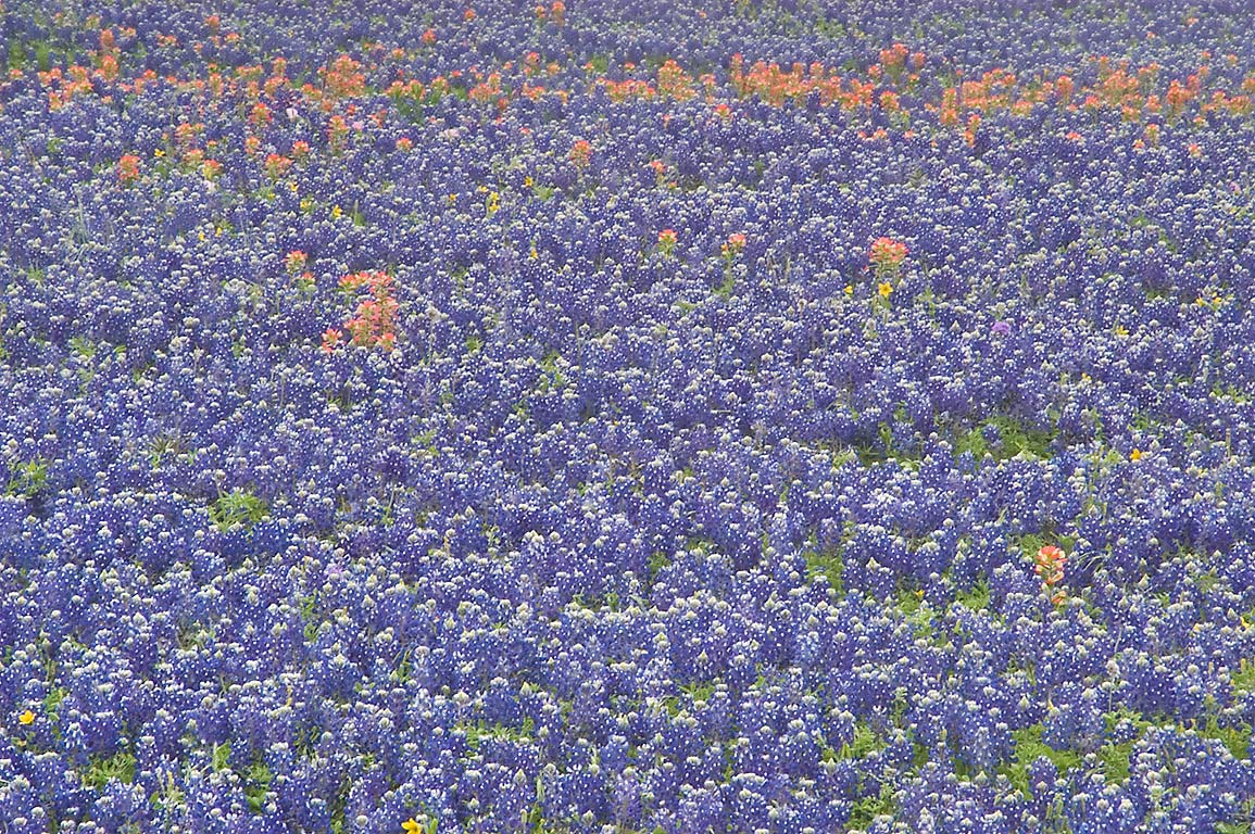 Dense field of bluebonnet flowers, view from Old...Hill Rd.. North from Brenham, Texas