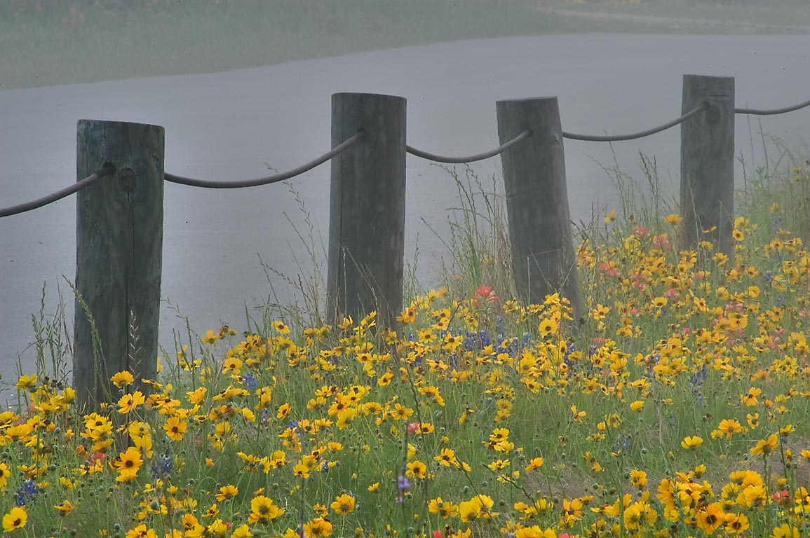 Roadside flowers in Old Baylor Park at morning in mist. Independence, Texas