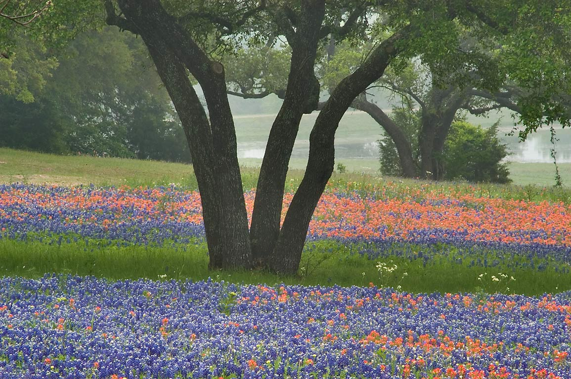 Flowers and a trees of Johnsons Ranch at Clay...from Mayfair Lane. Independence, Texas
