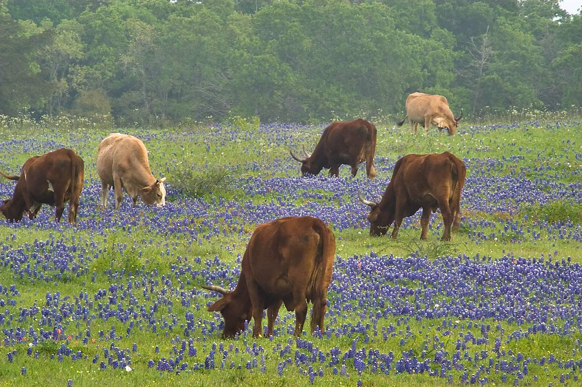 Grazing cows among bluebonnet flowers in 3B Ranch...Rd.. West from Independence, Texas