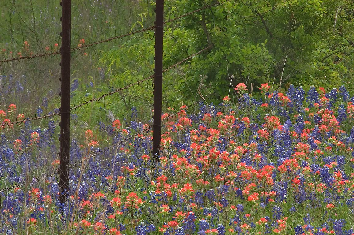 Fence with roadside wildflowers at Dannheim Road...Rd.. West from Independence, Texas