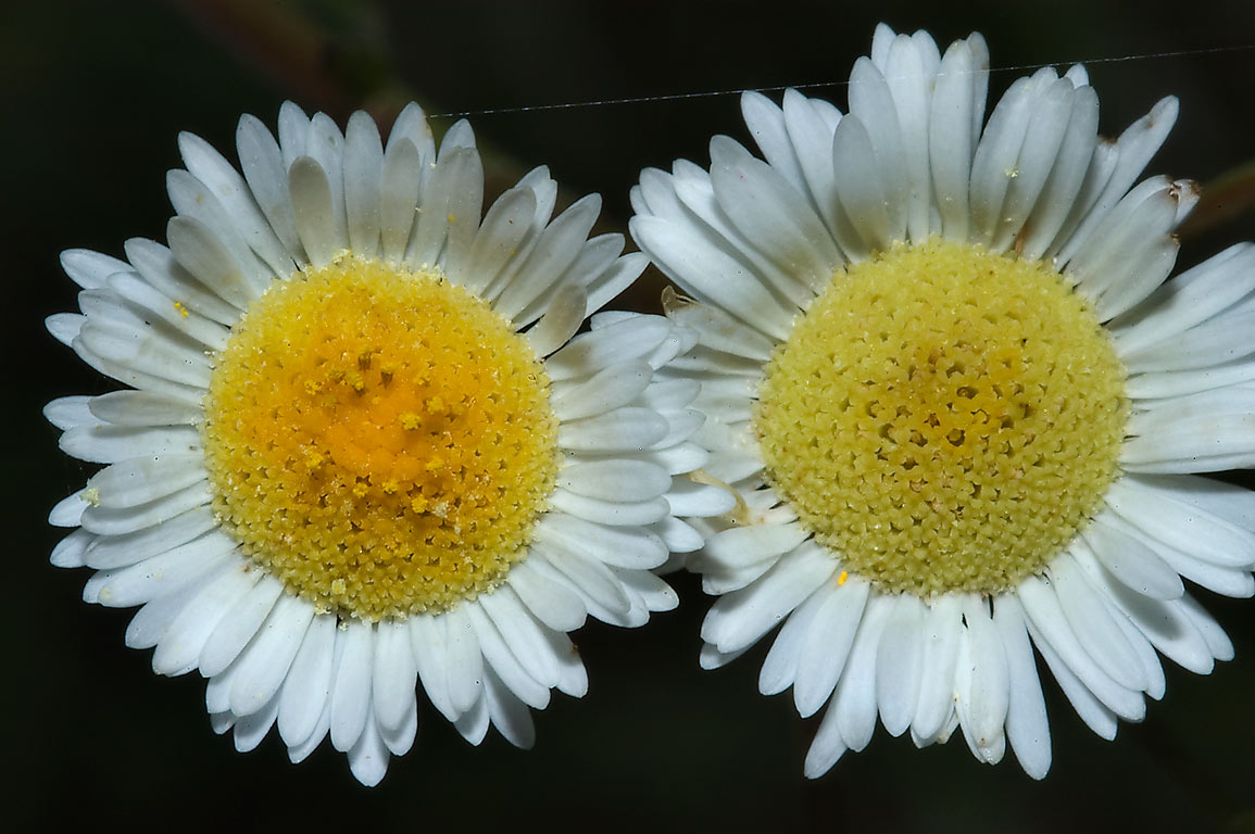 Fleabane daisy flowers in Washington-on-the-Brazos State Historic Site. Washington, Texas