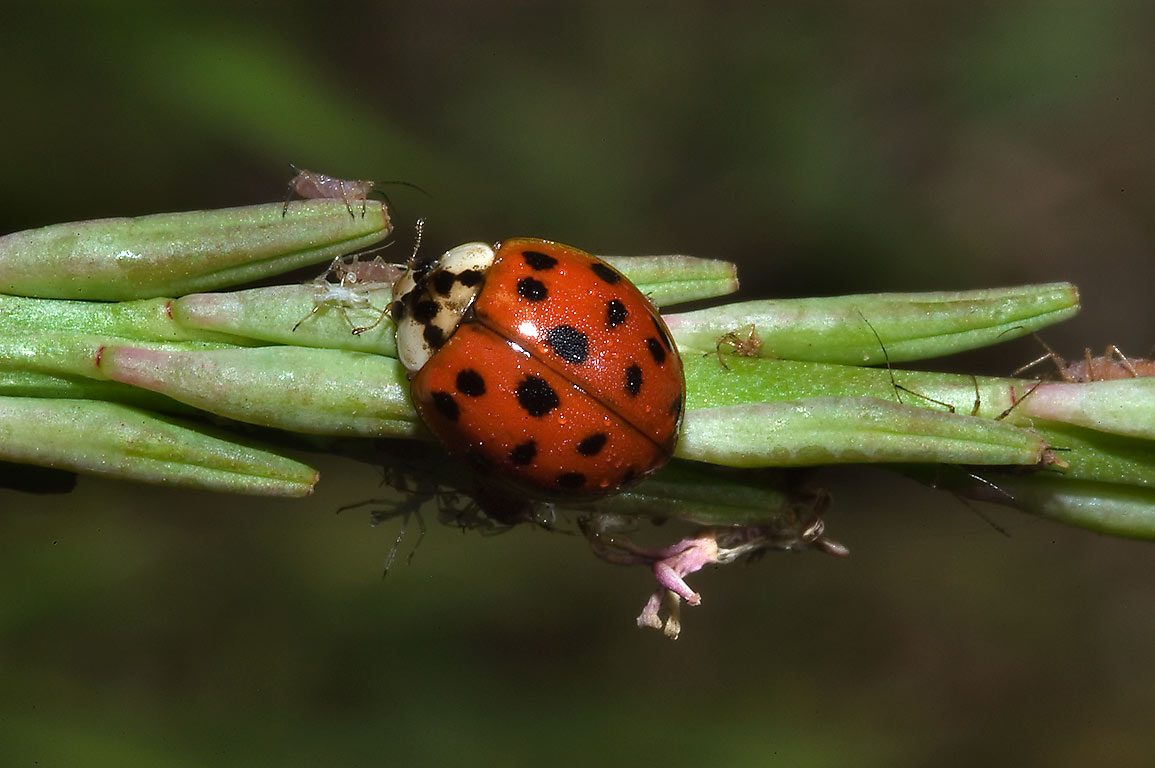 Ladybird with aphids in Washington-on-the-Brazos State Historic Site. Washington, Texas