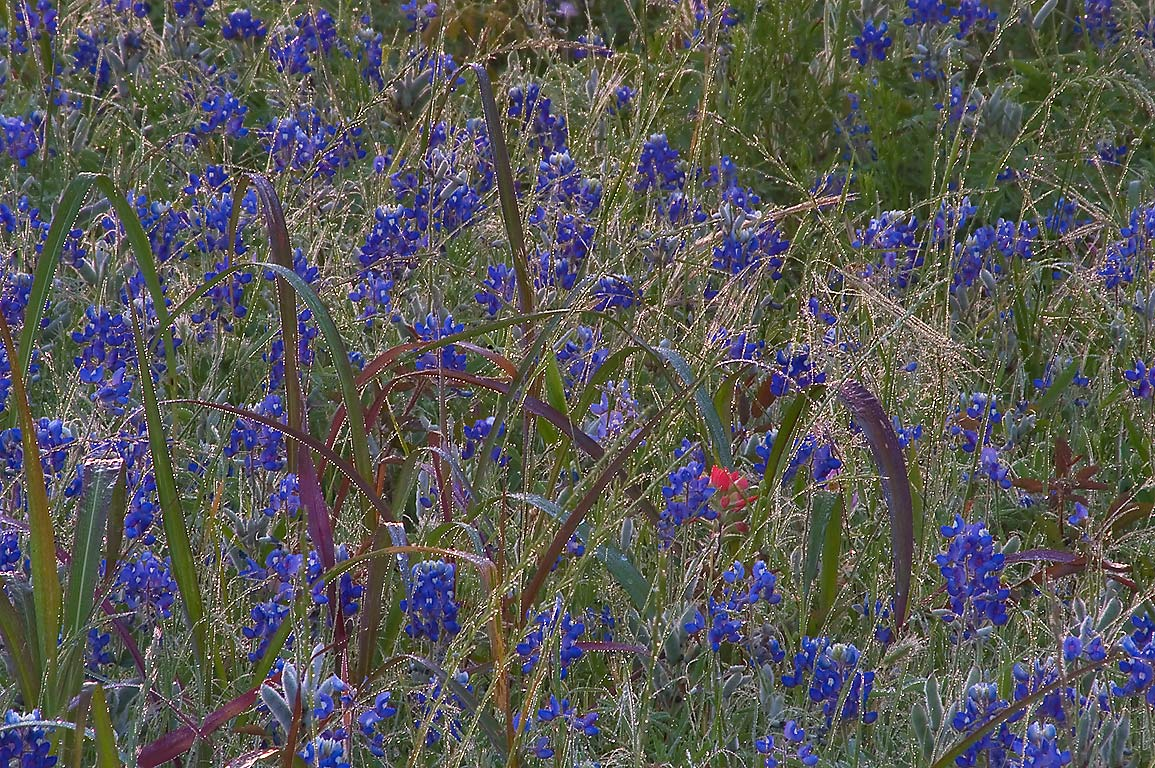 Bluebonnet in morning dew near Loop Trail in...State Historic Site. Washington, Texas