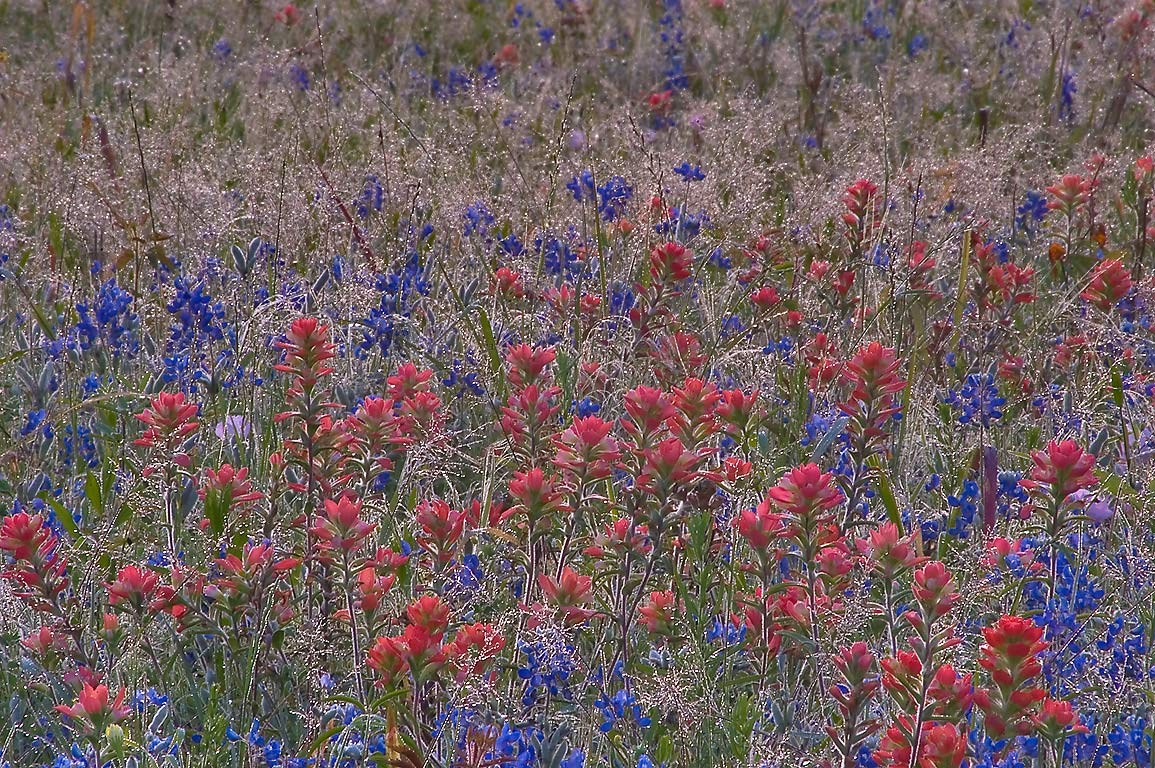 Paintbrush and bluebonnet in morning dew near...State Historic Site. Washington, Texas