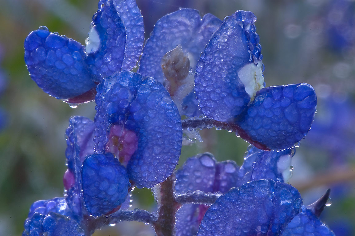 Bluebonnet in morning dew in Washington-on-the...State Historic Site. Washington, Texas