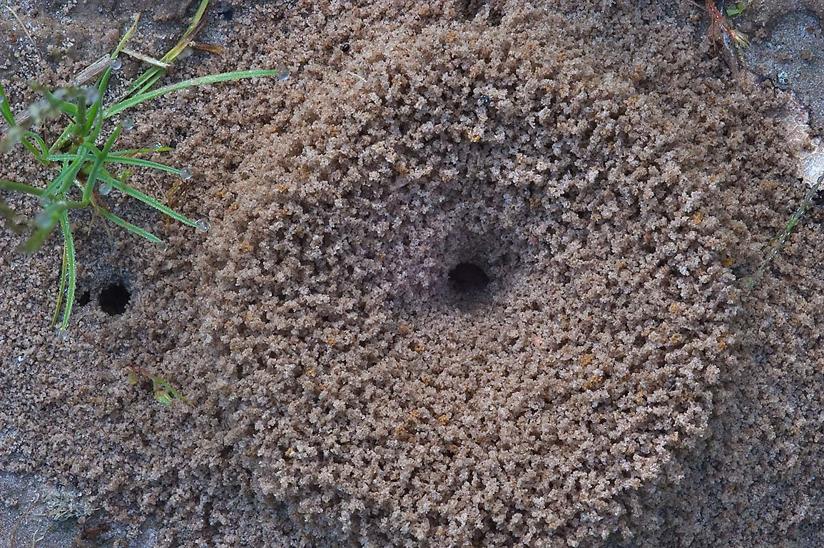 Mound of fire ants on Post Oak Trail in Lick Creek Park. College Station, Texas