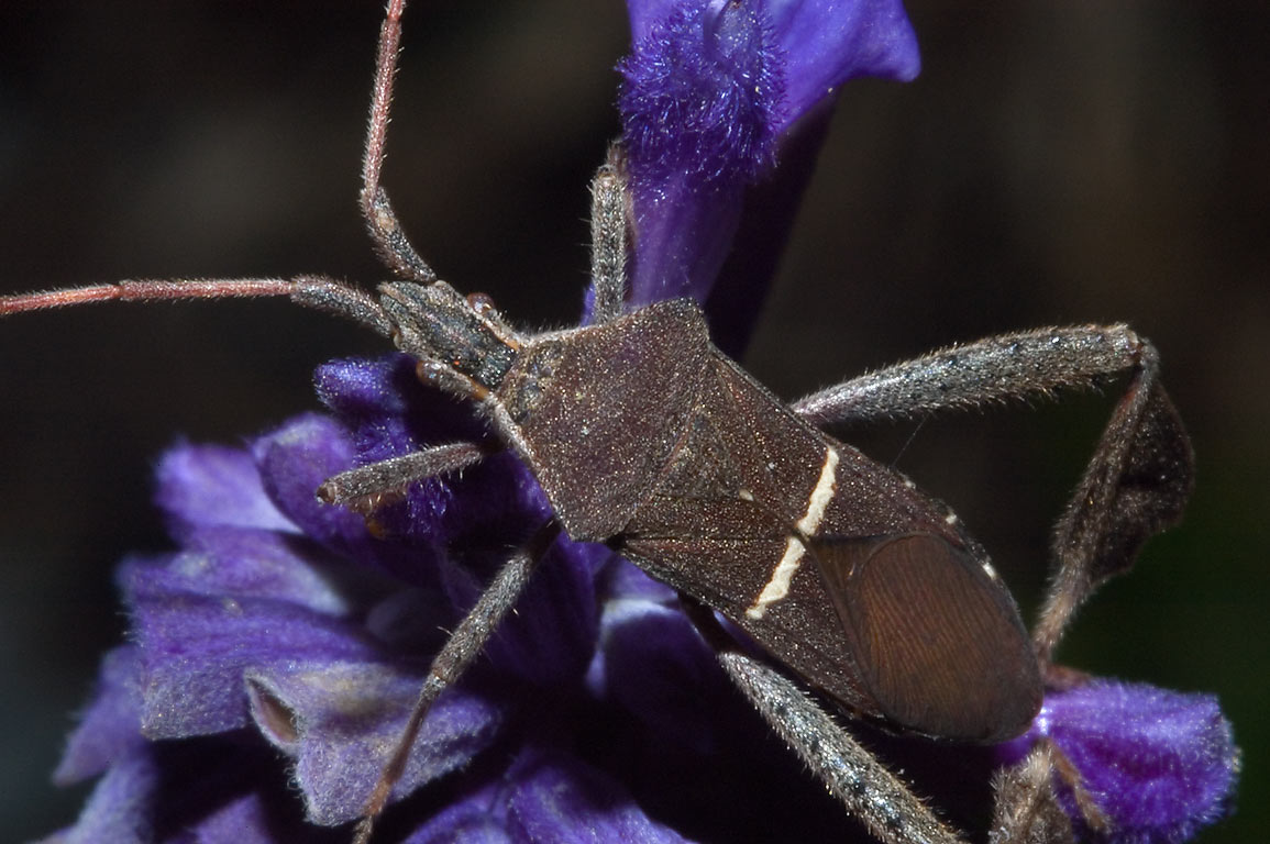 Leaf-footed bug (Leptoglossus phyllopus) on a...M University. College Station, Texas