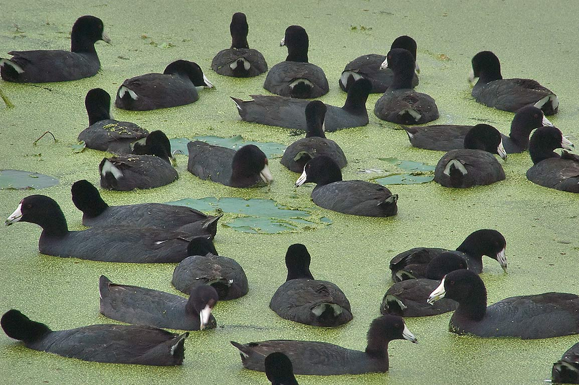 American coot wetland birds on west side of 40...Bend State Park. Needville, Texas