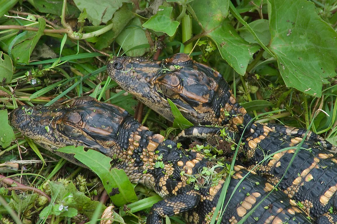 Baby alligators on west side of 40 Acre Lake in Brazos Bend State Park. Needville, Texas