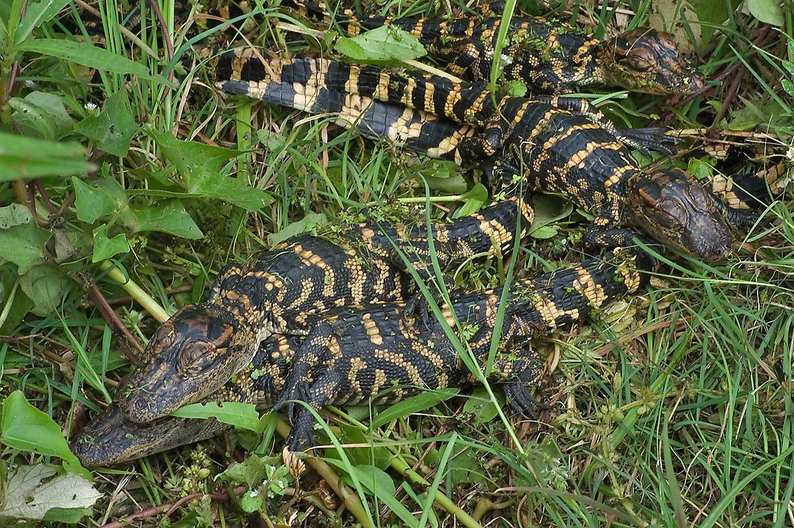 Group of baby alligators on west side of 40 Acre...Bend State Park. Needville, Texas